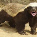 ラーテルは最強動物で好物や強さがガチでヤバイ!見れる動物園とムテ吉のモデルにもなった!ふなっしーもファン?[世界まる見え!]