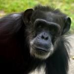 チンパンジーチェリーは亀井一成に人工飼育され今現在は剥製も人気!育児中息子の寿久はブチ切れ!?[アンビリバボー]